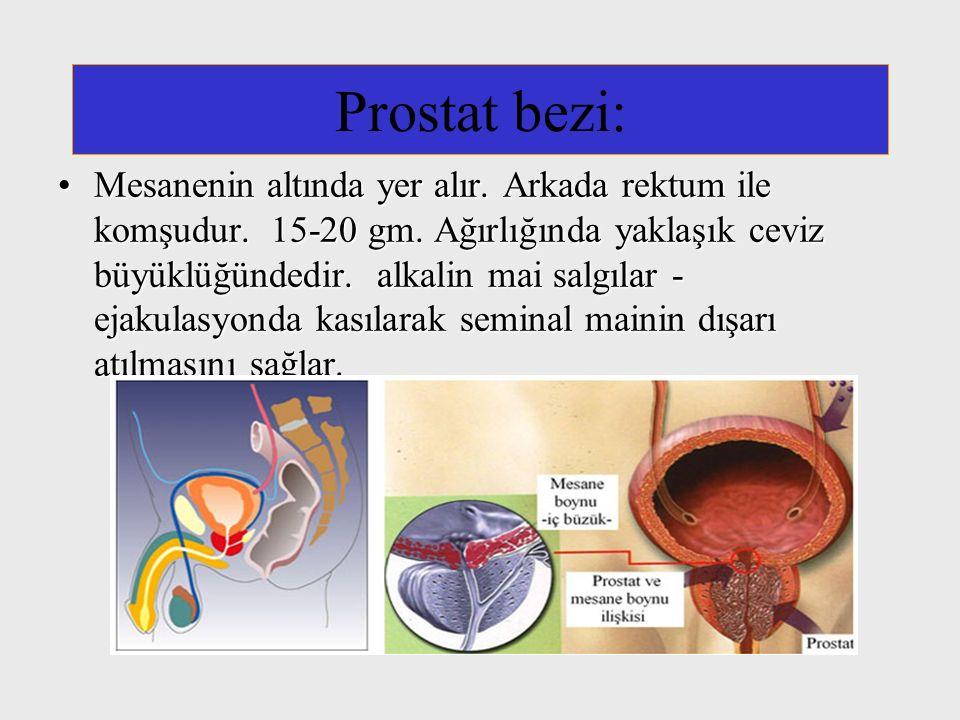 Prostat bezi: Mesanenin altında yer alır. Arkada rektum ile komşudur. 15-20 gm. Ağırlığında yaklaşık ceviz büyüklüğündedir. alkalin mai salgılar - eja