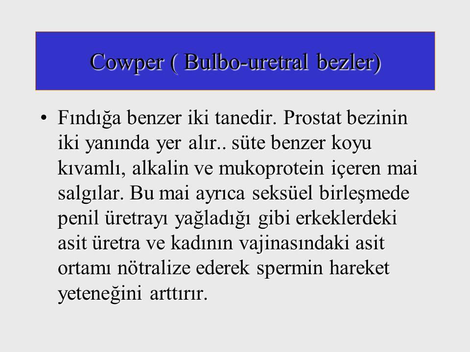 Cowper ( Bulbo-uretral bezler) Fındığa benzer iki tanedir. Prostat bezinin iki yanında yer alır.. süte benzer koyu kıvamlı, alkalin ve mukoprotein içe