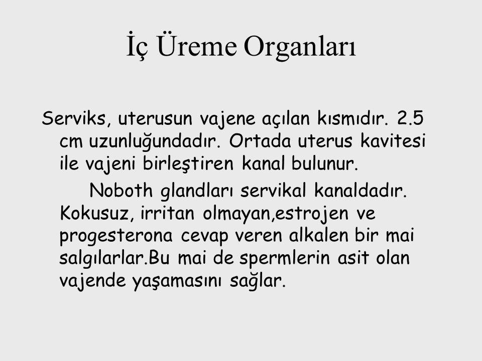 İç Üreme Organları Serviks, uterusun vajene açılan kısmıdır. 2.5 cm uzunluğundadır. Ortada uterus kavitesi ile vajeni birleştiren kanal bulunur. Nobot