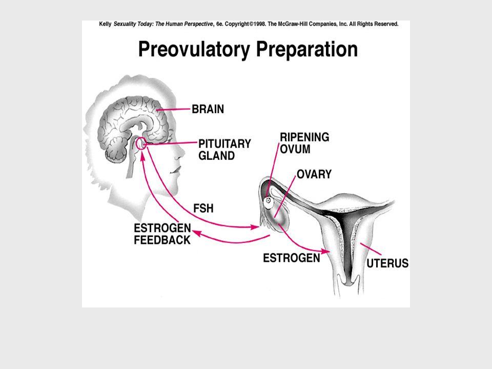 progesteron Korpus luteumdan salgılanan progesteron hipotalamus ve hipofizi geri bildirim mekanızması ile etkiler.
