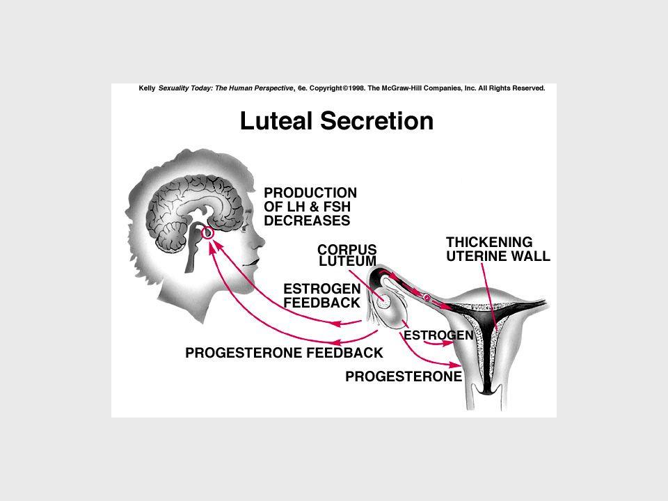 Gebelik oluşmazsa Korpus luteum geriler; progesteron ve östrojen düzeyleri düşer (korpus albikans) Endometriyumun kan desteği azalır Endometriyal dokular dökülür = menstrüasyon
