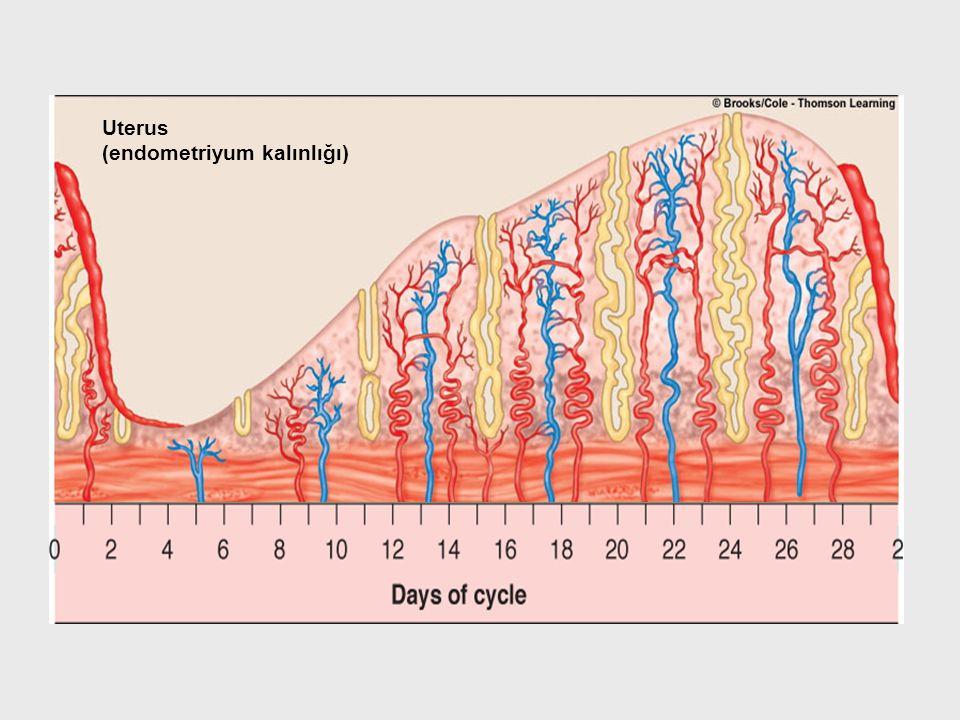Uterus (endometriyum kalınlığı)