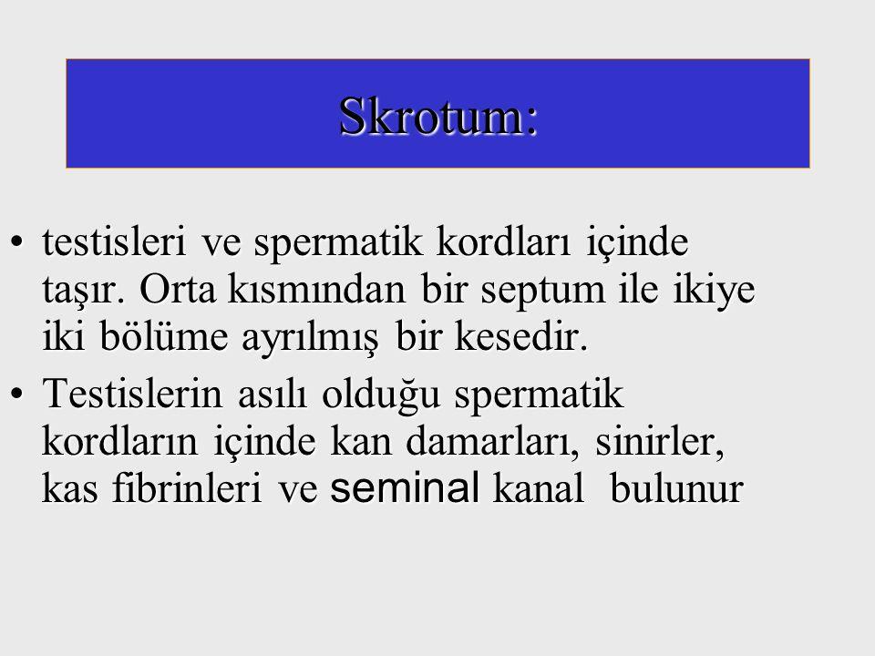 Skrotum: testisleri ve spermatik kordları içinde taşır. Orta kısmından bir septum ile ikiye iki bölüme ayrılmış bir kesedir.testisleri ve spermatik ko