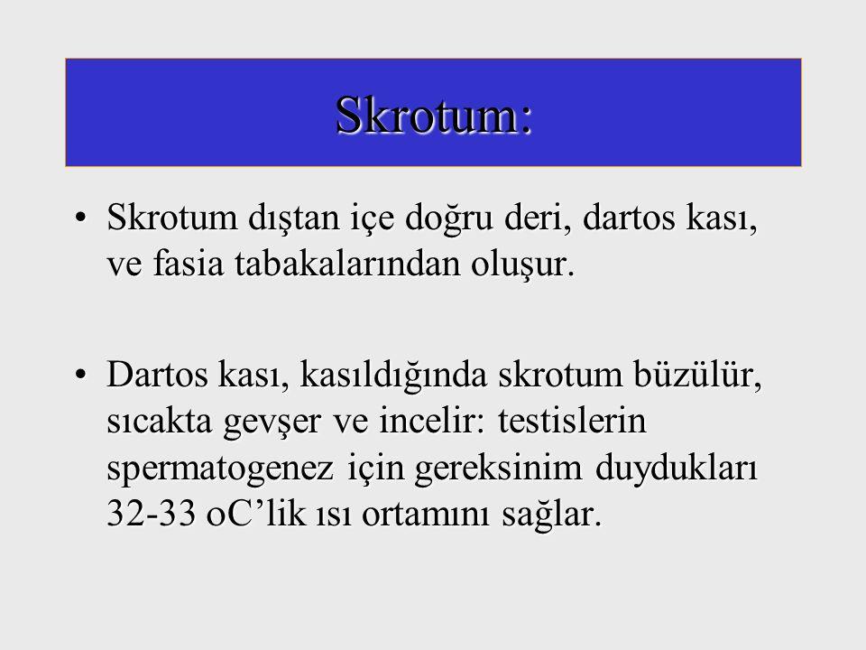 Skrotum: Skrotum dıştan içe doğru deri, dartos kası, ve fasia tabakalarından oluşur.Skrotum dıştan içe doğru deri, dartos kası, ve fasia tabakalarında