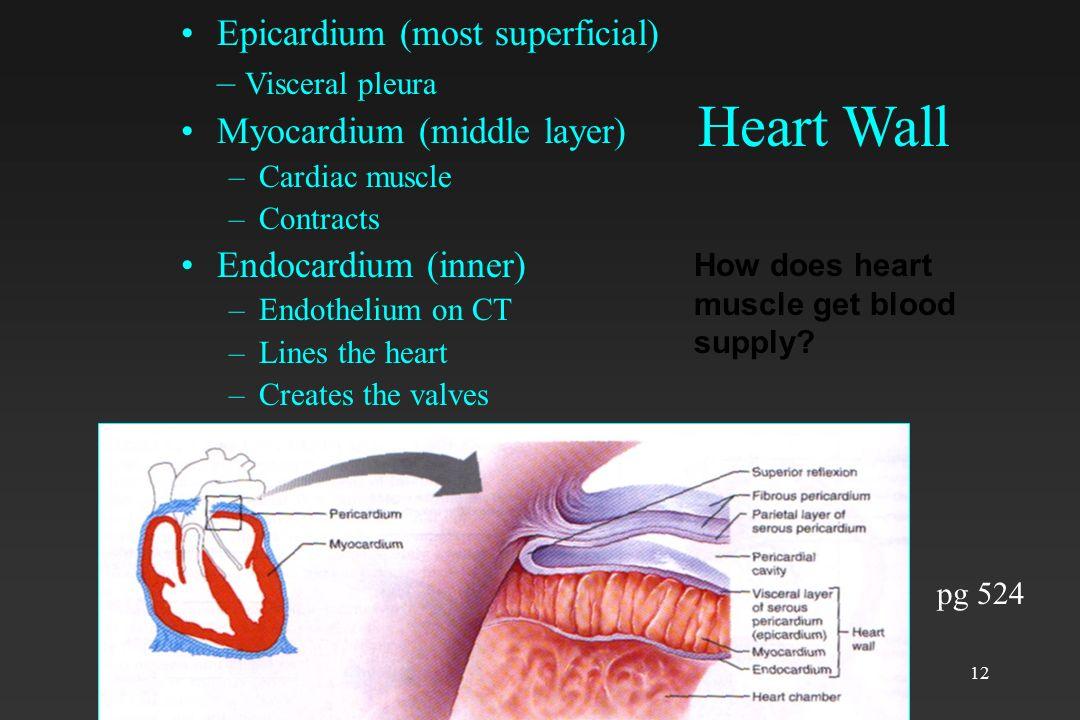 12 Heart Wall Epicardium (most superficial) – Visceral pleura Myocardium (middle layer) –Cardiac muscle –Contracts Endocardium (inner) –Endothelium on