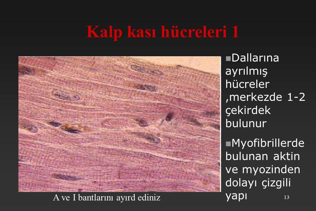 13 Kalp kası hücreleri 1 A ve I bantlarını ayırd ediniz Dallarına ayrılmış hücreler,merkezde 1-2 çekirdek bulunur Myofibrillerde bulunan aktin ve myozinden dolayı çizgili yapı