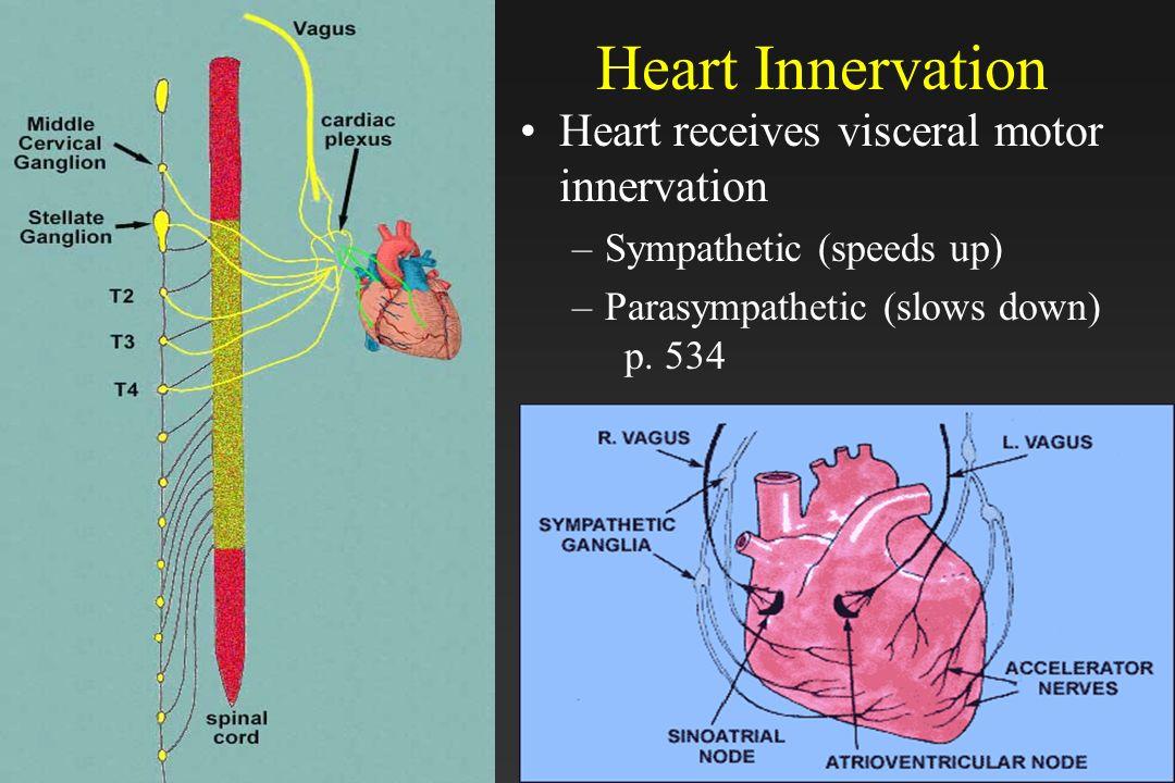 30 Heart Innervation Heart receives visceral motor innervation –Sympathetic (speeds up) –Parasympathetic (slows down) p. 534