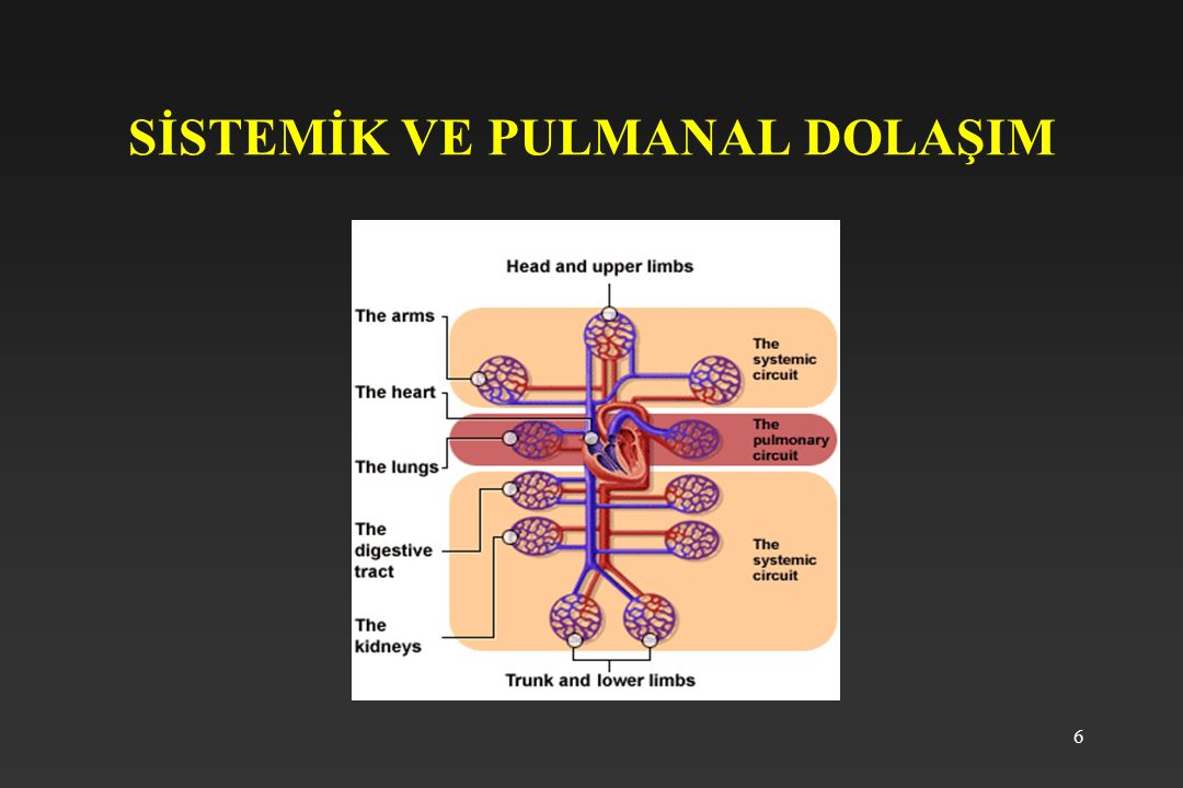 27 Kalp sesleri Oskültasyon ile 4 tür ses ayırt edilir 1.kalp sesi: ventriküllerin kasıldığı ve AV kapakların kasıldığı zamana rastlar, frekansı düşük süresi uzun bir sestir.