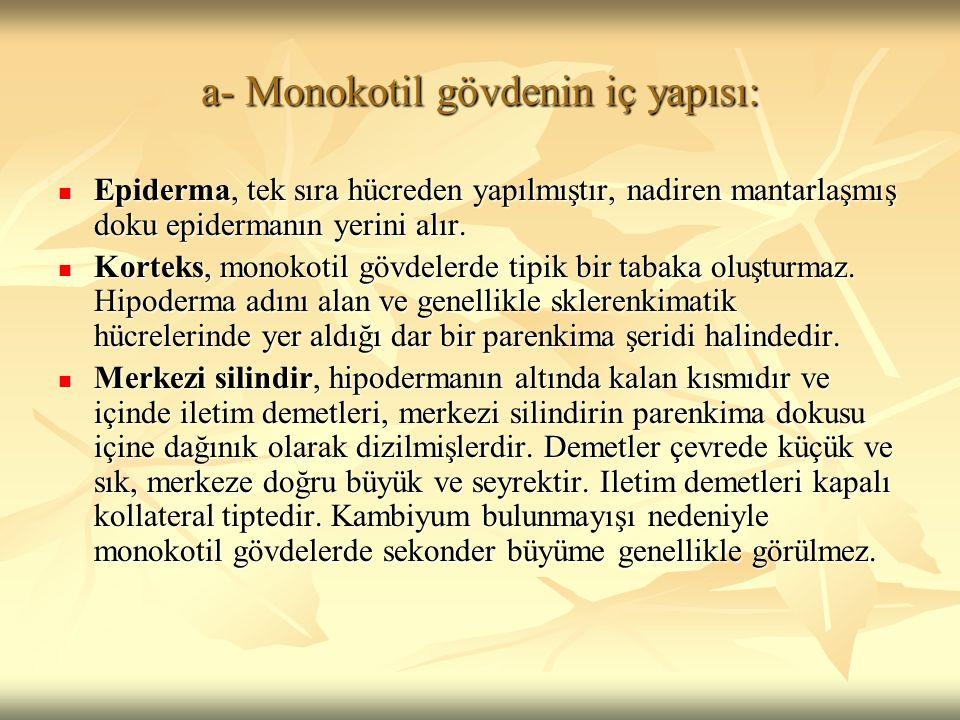 a- Monokotil gövdenin iç yapısı: Epiderma, tek sıra hücreden yapılmıştır, nadiren mantarlaşmış doku epidermanın yerini alır. Epiderma, tek sıra hücred