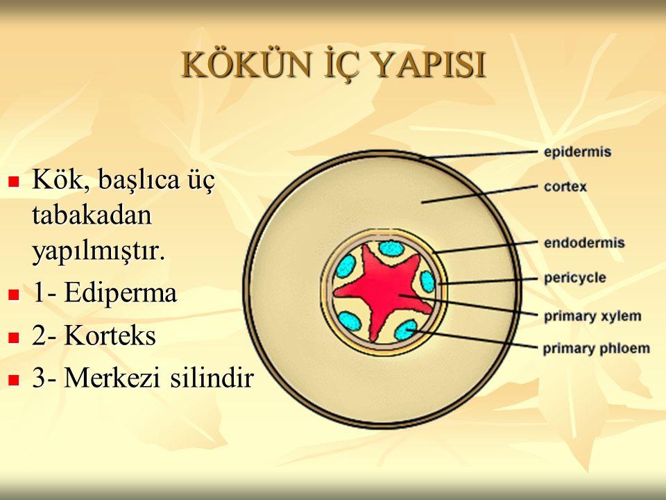 KÖKÜN İÇ YAPISI Kök, başlıca üç tabakadan yapılmıştır. Kök, başlıca üç tabakadan yapılmıştır. 1- Ediperma 1- Ediperma 2- Korteks 2- Korteks 3- Merkezi