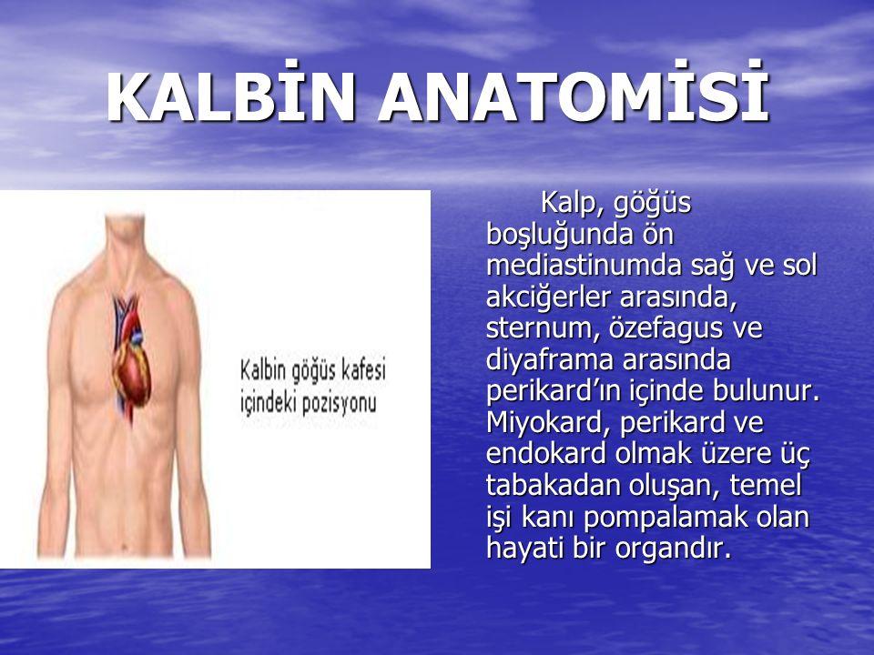 KALBİN ANATOMİSİ Kalp, göğüs boşluğunda ön mediastinumda sağ ve sol akciğerler arasında, sternum, özefagus ve diyaframa arasında perikard'ın içinde bulunur.