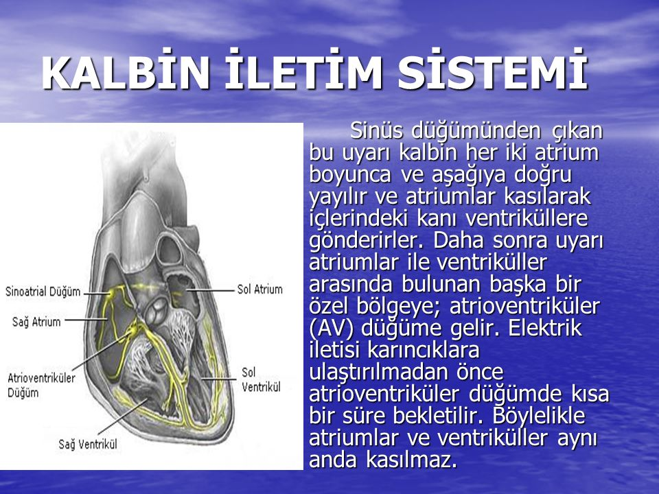 KALBİN İLETİM SİSTEMİ Atriumların kasılması bittikten sonra His-Purkinje sistemi adı verilen bir elektriksel ağ ile uyarı tüm ventriküllere yayılır ve kasılarak içlerindeki kanı akciğerlere ve aort yoluyla vücuda pompalarlar.
