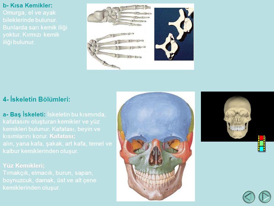 b- Kısa Kemikler: Omurga, el ve ayak bileklerinde bulunur.