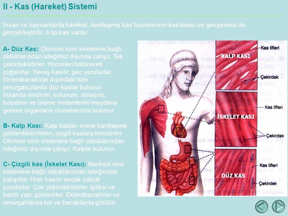 II - Kas (Hareket) Sistemi İnsan ve hayvanlarda hareket, özelleşmiş kas hücrelerinin kasılması ve gevşemesi ile gerçekleştirilir.