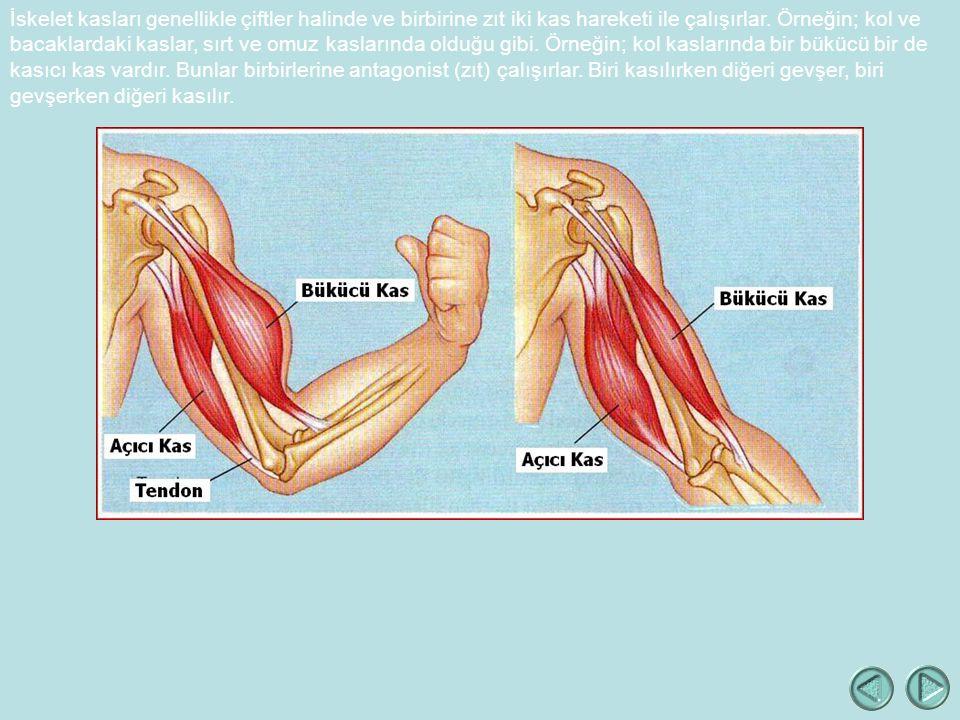 İskelet kasları genellikle çiftler halinde ve birbirine zıt iki kas hareketi ile çalışırlar.
