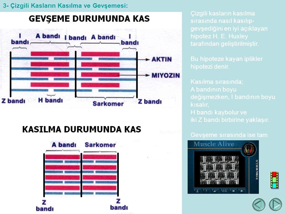Çizgili kasların kasılma sırasında nasıl kasılıp- gevşediğini en iyi açıklayan hipotez H.