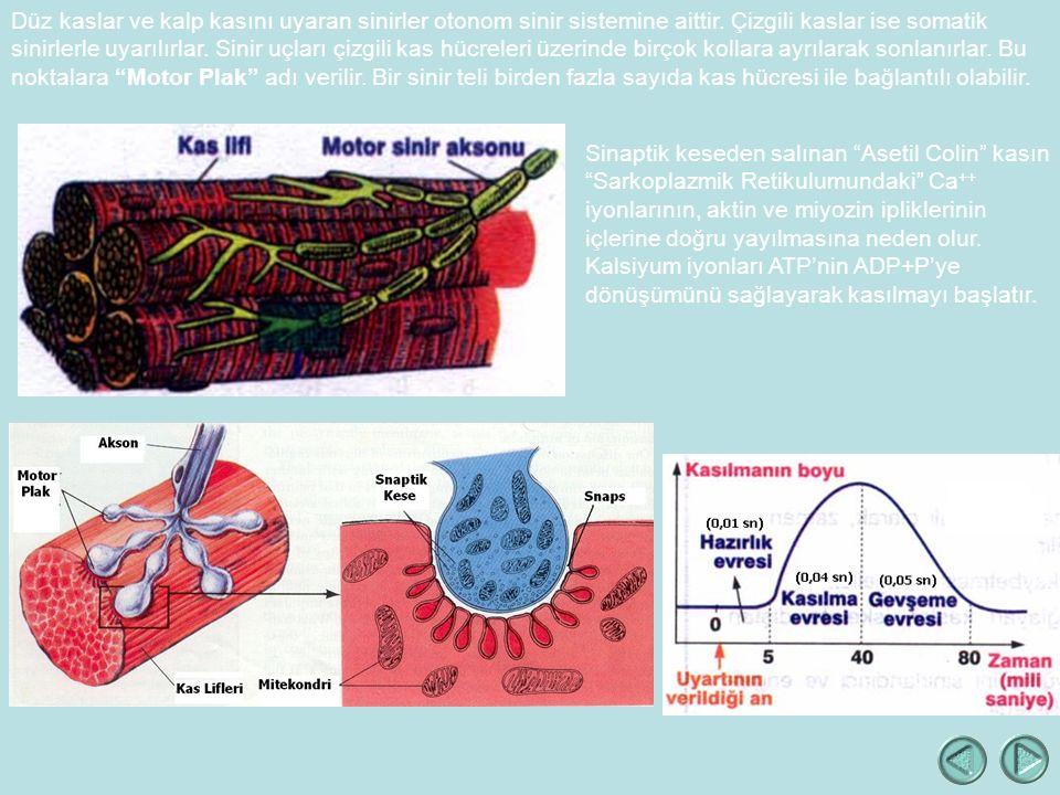 Düz kaslar ve kalp kasını uyaran sinirler otonom sinir sistemine aittir.