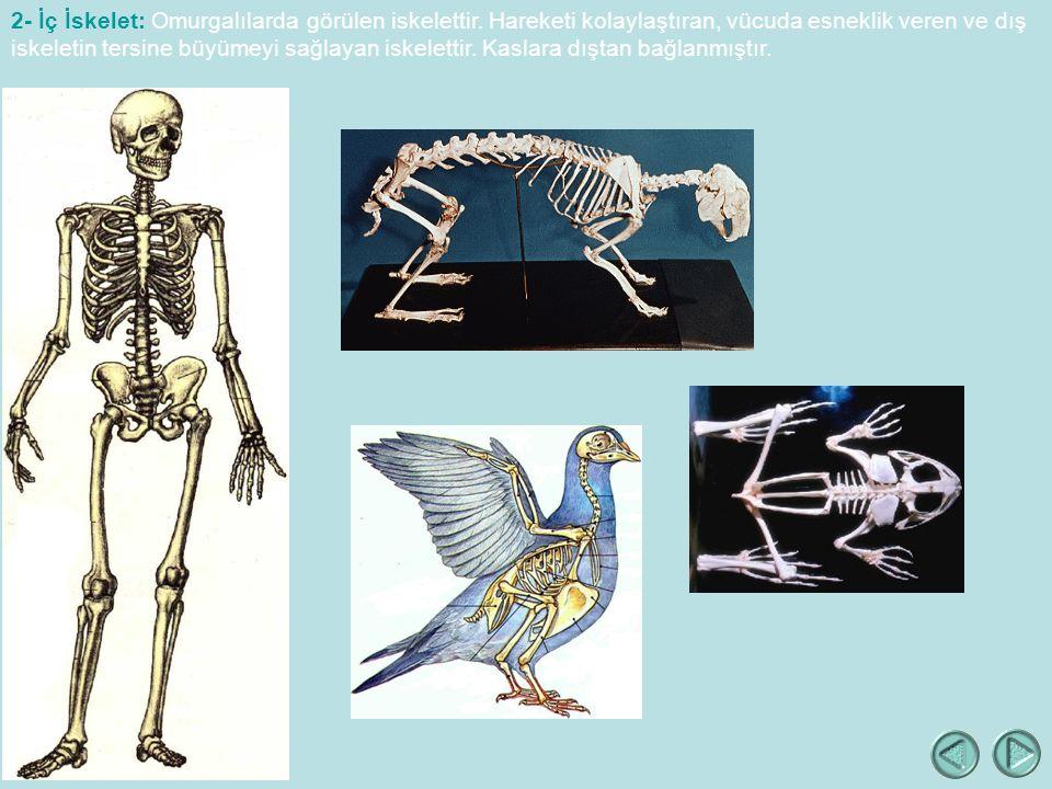 2- İç İskelet: Omurgalılarda görülen iskelettir.