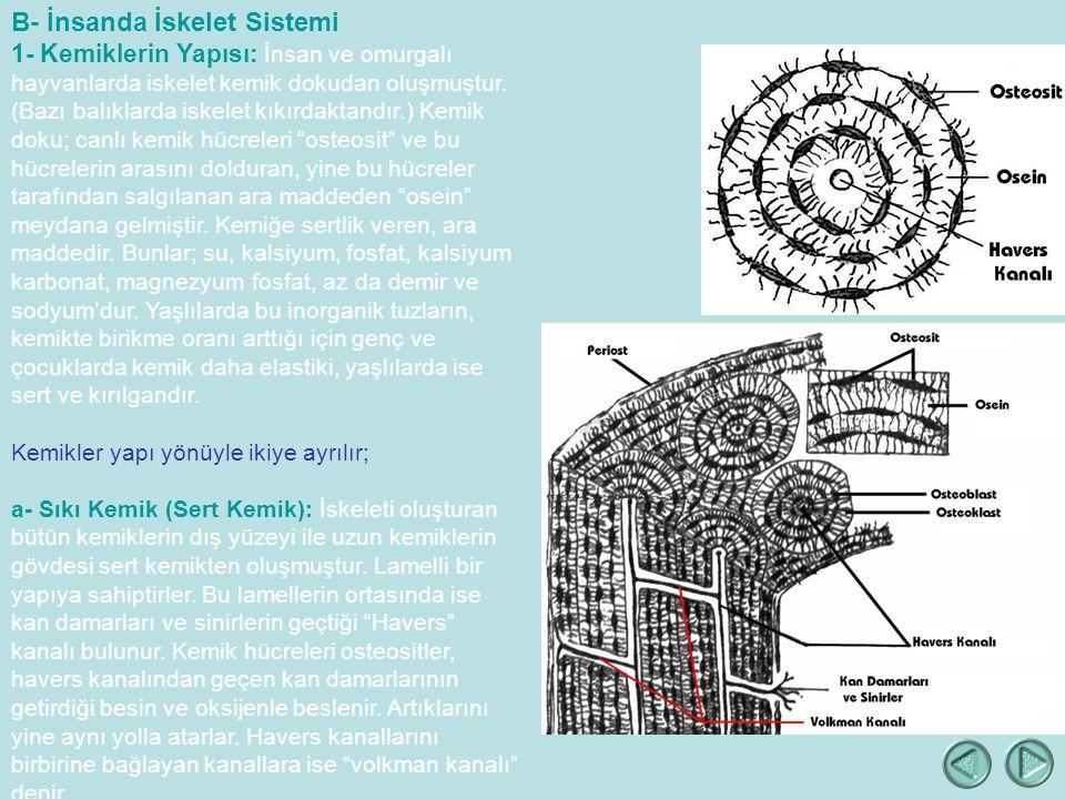 B- İnsanda İskelet Sistemi 1- Kemiklerin Yapısı: İnsan ve omurgalı hayvanlarda iskelet kemik dokudan oluşmuştur.