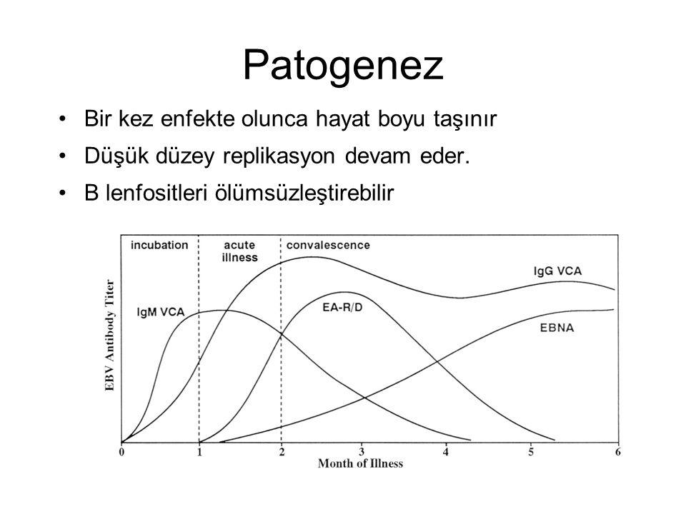Patogenez Bir kez enfekte olunca hayat boyu taşınır Düşük düzey replikasyon devam eder. B lenfositleri ölümsüzleştirebilir