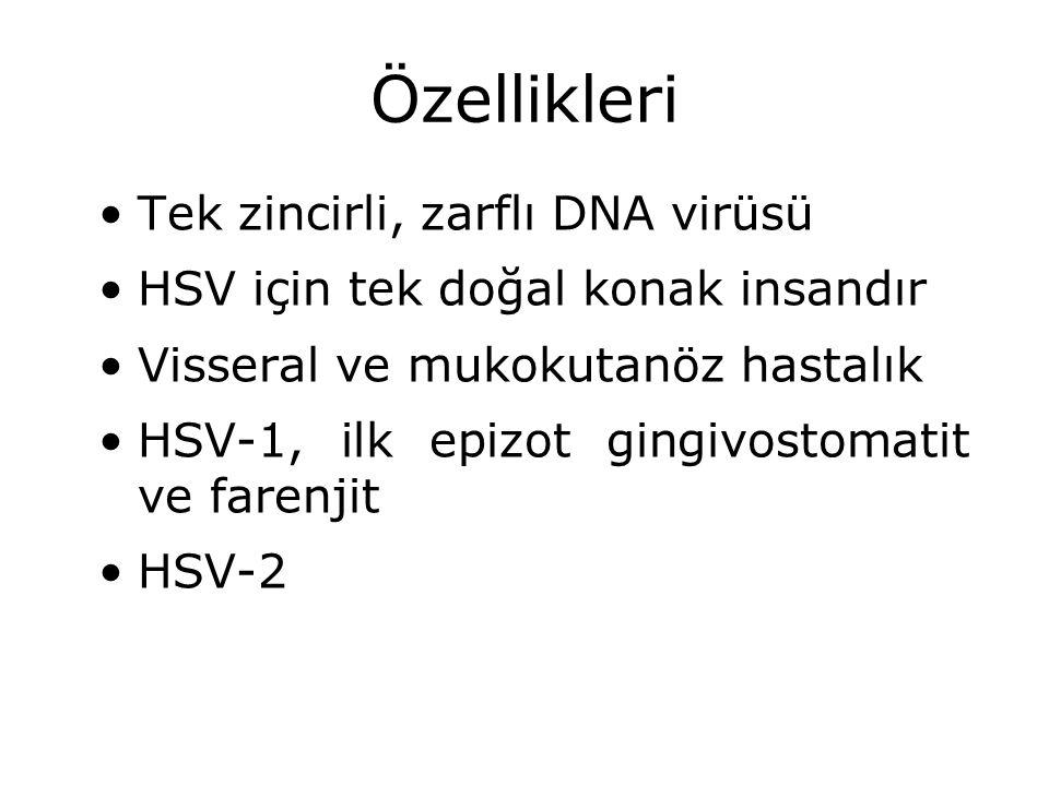 Özellikleri Tek zincirli, zarflı DNA virüsü HSV için tek doğal konak insandır Visseral ve mukokutanöz hastalık HSV-1, ilk epizot gingivostomatit ve fa