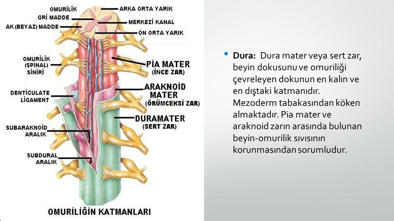 Dura: Dura mater veya sert zar, beyin dokusunu ve omuriliği çevreleyen dokunun en kalın ve en dıştaki katmanıdır. Mezoderm tabakasından köken almaktad