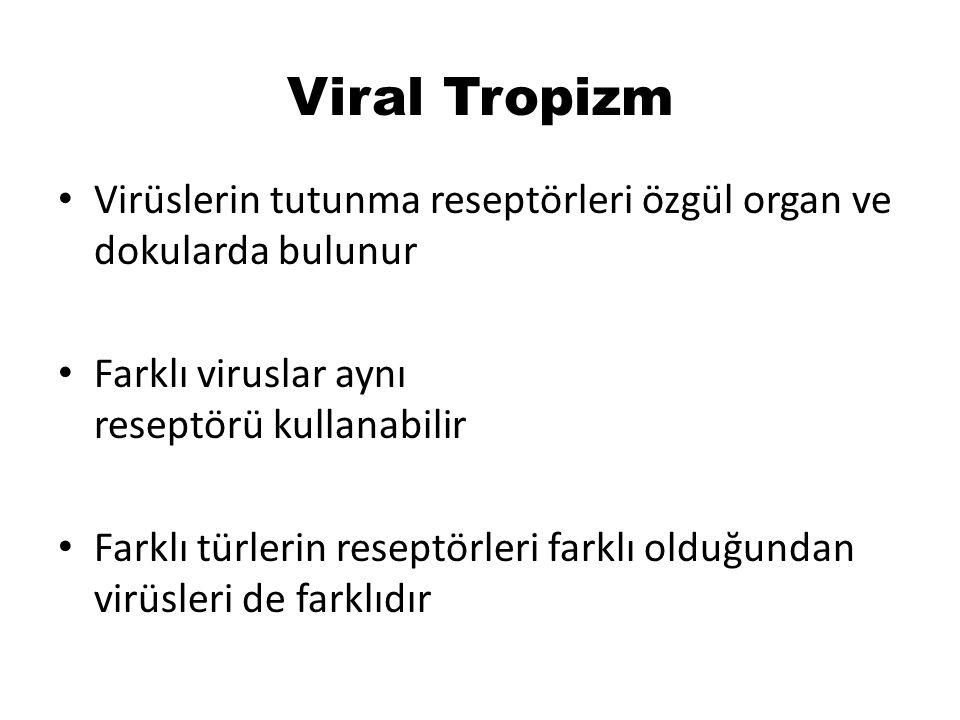 Viral Tropizm Virüslerin tutunma reseptörleri özgül organ ve dokularda bulunur Farklı viruslar aynı reseptörü kullanabilir Farklı türlerin reseptörleri farklı olduğundan virüsleri de farklıdır