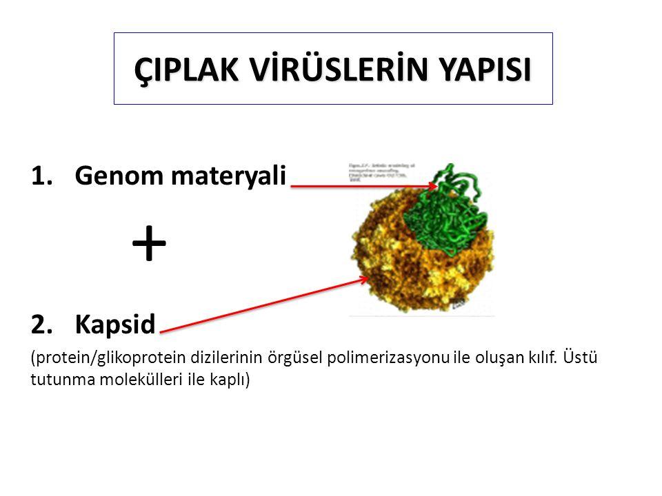 ÇIPLAK VİRÜSLERİN YAPISI 1.Genom materyali + 2.Kapsid (protein/glikoprotein dizilerinin örgüsel polimerizasyonu ile oluşan kılıf. Üstü tutunma molekül