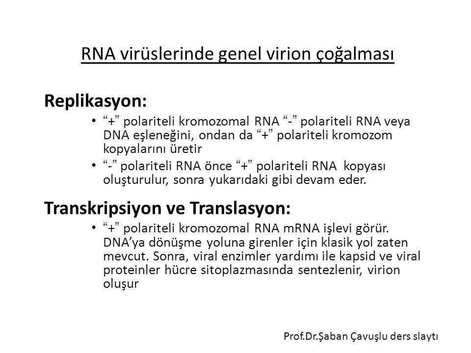 RNA virüslerinde genel virion çoğalması Replikasyon: + polariteli kromozomal RNA - polariteli RNA veya DNA eşleneğini, ondan da + polariteli kromozom kopyalarını üretir - polariteli RNA önce + polariteli RNA kopyası oluşturulur, sonra yukarıdaki gibi devam eder.