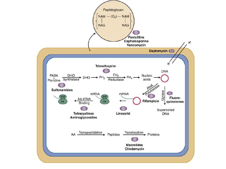 Nötral penisilinler Penisilin G (deposilin, iecillin..) Penisilin V (penos..) Aminopenisilinler Ampisilin (alfasilin, ampisina…) Amoksisilin (largopen, alfoksil…) Penisilinaz drençliler Oksasilin Kloksasilin Dikloksasilin Floksasilin (floksin) Nafsilin Anti-psödomonal Piperasilin (pipraks) Tikarsilin