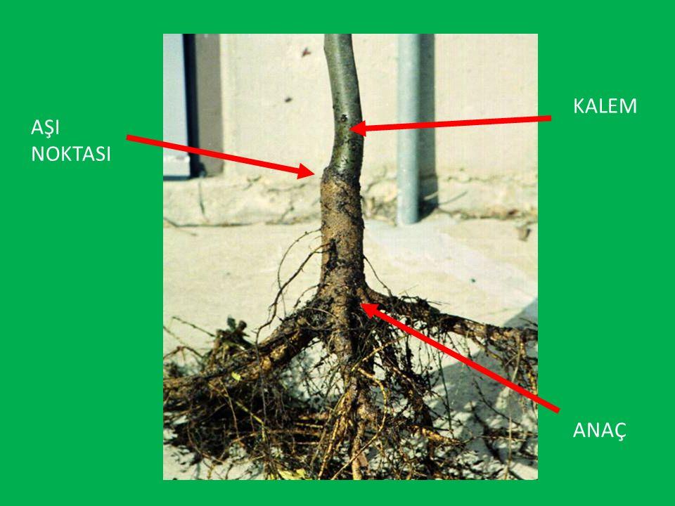 Kalem ve Göz Aşılarının Yapılma Nedenleri Çelikle, daldırmayla, bölme veya başka bir eşeysiz metotla çoğaltılamayan bitkilerin çoğaltılmasını sağlamak, Bazı anaçların özelliklerinden yararlanmak, Büyük ağaçların çeşidini değiştirmek, Ağaçların zarar gören kısımlarını tamir etmek