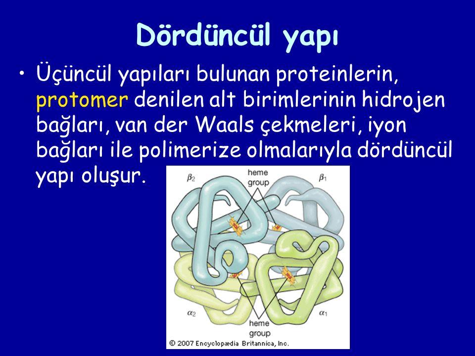 Dördüncül yapı Üçüncül yapıları bulunan proteinlerin, protomer denilen alt birimlerinin hidrojen bağları, van der Waals çekmeleri, iyon bağları ile polimerize olmalarıyla dördüncül yapı oluşur.