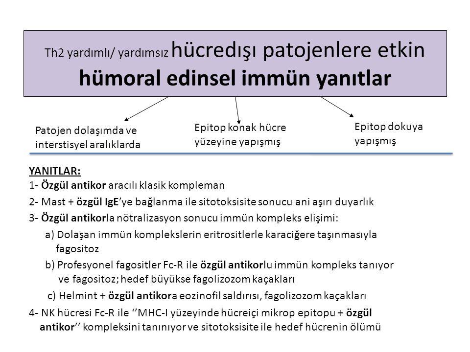Th2 yardımlı/ yardımsız hücredışı patojenlere etkin hümoral edinsel immün yanıtlar YANITLAR: 1- Özgül antikor aracılı klasik kompleman 2- Mast + özgül IgE'ye bağlanma ile sitotoksisite sonucu ani aşırı duyarlık 3- Özgül antikorla nötralizasyon sonucu immün kompleks elişimi: a) Dolaşan immün komplekslerin eritrositlerle karaciğere taşınmasıyla fagositoz b) Profesyonel fagositler Fc-R ile özgül antikorlu immün kompleks tanıyor ve fagositoz; hedef büyükse fagolizozom kaçakları c) Helmint + özgül antikora eozinofil saldırısı, fagolizozom kaçakları 4- NK hücresi Fc-R ile ''MHC-I yüzeyinde hücreiçi mikrop epitopu + özgül antikor'' kompleksini tanınıyor ve sitotoksisite ile hedef hücrenin ölümü Patojen dolaşımda ve interstisyel aralıklarda Epitop konak hücre yüzeyine yapışmış Epitop dokuya yapışmış