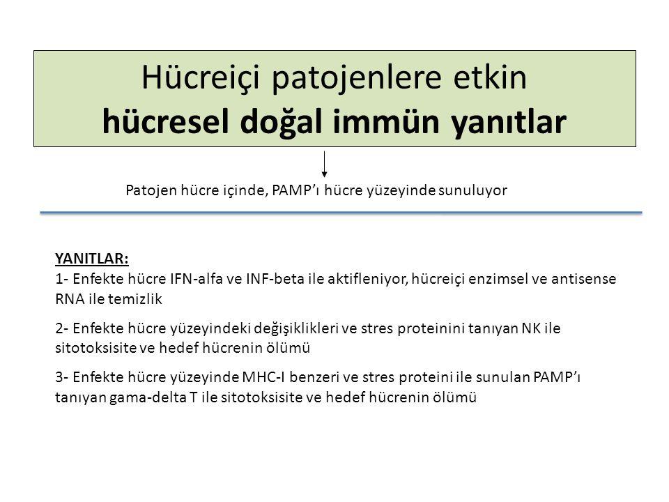 Hücreiçi patojenlere etkin hücresel doğal immün yanıtlar Patojen hücre içinde, PAMP'ı hücre yüzeyinde sunuluyor YANITLAR: 1- Enfekte hücre IFN-alfa ve INF-beta ile aktifleniyor, hücreiçi enzimsel ve antisense RNA ile temizlik 2- Enfekte hücre yüzeyindeki değişiklikleri ve stres proteinini tanıyan NK ile sitotoksisite ve hedef hücrenin ölümü 3- Enfekte hücre yüzeyinde MHC-I benzeri ve stres proteini ile sunulan PAMP'ı tanıyan gama-delta T ile sitotoksisite ve hedef hücrenin ölümü