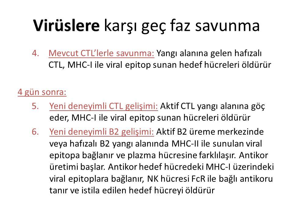 4.Mevcut CTL'lerle savunma: Yangı alanına gelen hafızalı CTL, MHC-I ile viral epitop sunan hedef hücreleri öldürür 4 gün sonra: 5.Yeni deneyimli CTL gelişimi: Aktif CTL yangı alanına göç eder, MHC-I ile viral epitop sunan hücreleri öldürür 6.Yeni deneyimli B2 gelişimi: Aktif B2 üreme merkezinde veya hafızalı B2 yangı alanında MHC-II ile sunulan viral epitopa bağlanır ve plazma hücresine farklılaşır.