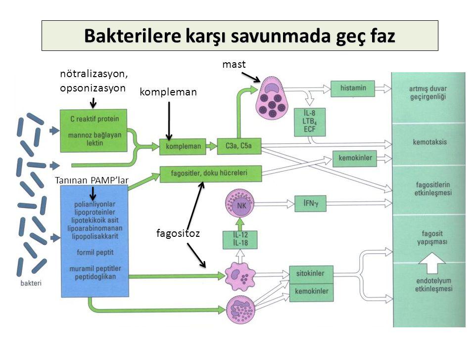 Bakterilere karşı savunmada geç faz nötralizasyon, opsonizasyon kompleman fagositoz Tanınan PAMP'lar mast