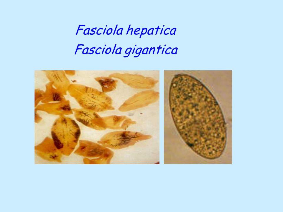 Taenia saginata  Kesin Konak: İnsanlar  Arakonak: Sığırlar  Larva Şekli: Cysticercus bovis