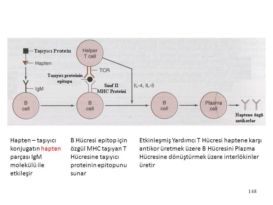 148 Hapten – taşıyıcı konjugatın hapten parçası IgM molekülü ile etkileşir B Hücresi epitop için özgül MHC taşıyan T Hücresine taşıyıcı proteinin epit