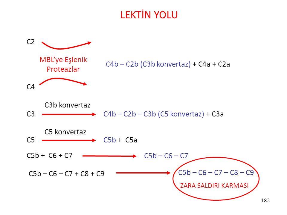 183 LEKTİN YOLU MBL'ye Eşlenik Proteazlar C2 C4 C4b – C2b (C3b konvertaz) + C4a + C2a C3 C4b – C2b – C3b (C5 konvertaz) + C3a C3b konvertaz C5 C5b + C