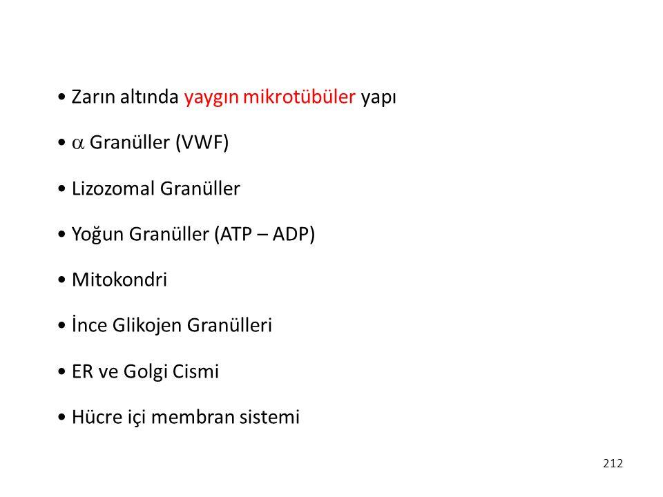 212 Zarın altında yaygın mikrotübüler yapı  Granüller (VWF) Lizozomal Granüller Yoğun Granüller (ATP – ADP) Mitokondri İnce Glikojen Granülleri ER ve