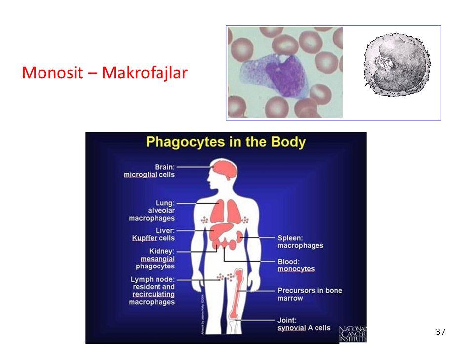 37 Monosit – Makrofajlar