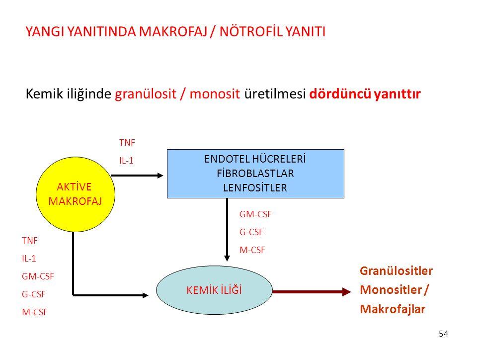 54 YANGI YANITINDA MAKROFAJ / NÖTROFİL YANITI Kemik iliğinde granülosit / monosit üretilmesi dördüncü yanıttır KEMİK İLİĞİ AKTİVE MAKROFAJ TNF IL-1 GM