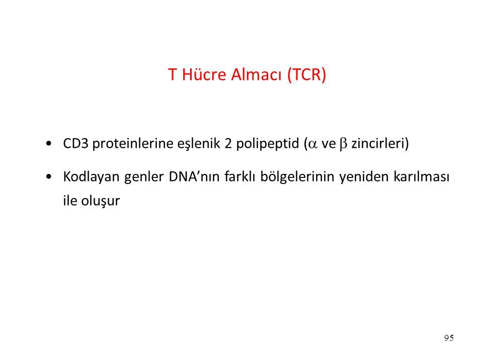 95 T Hücre Almacı (TCR) CD3 proteinlerine eşlenik 2 polipeptid (  ve  zincirleri) Kodlayan genler DNA'nın farklı bölgelerinin yeniden karılması ile