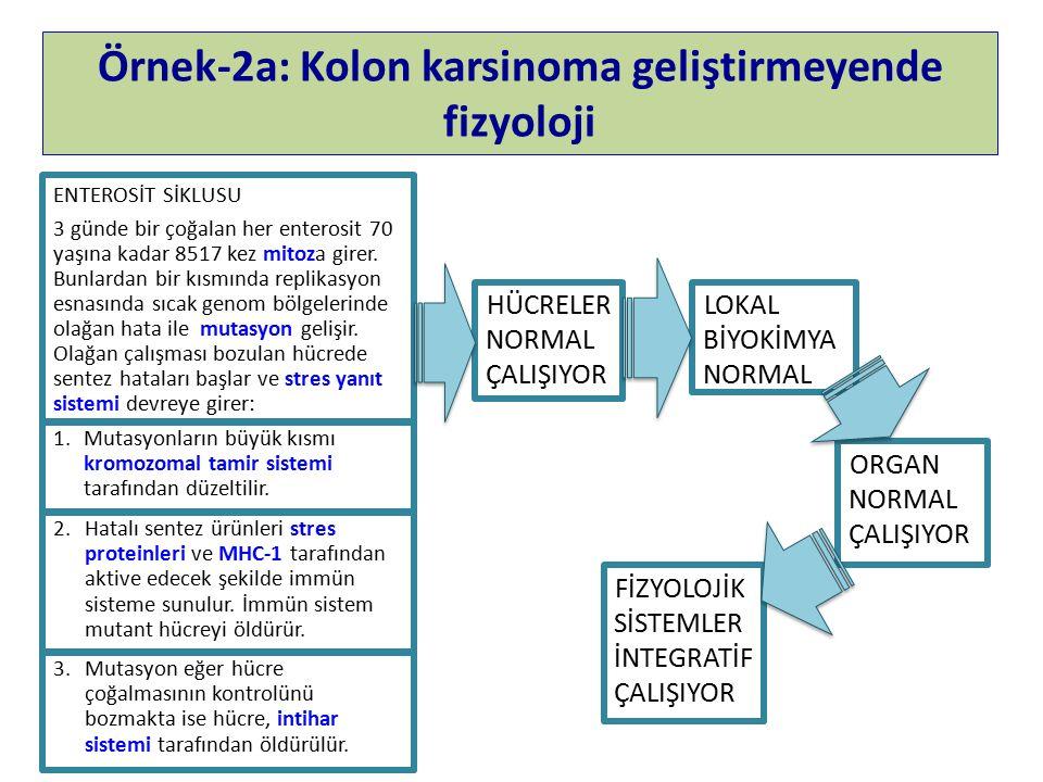 Örnek-2a: Kolon karsinoma geliştirmeyende fizyoloji ENTEROSİT SİKLUSU 3 günde bir çoğalan her enterosit 70 yaşına kadar 8517 kez mitoza girer.