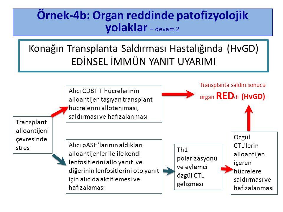 Konağın Transplanta Saldırması Hastalığında (HvGD) EDİNSEL İMMÜN YANIT UYARIMI Örnek-4b: Organ reddinde patofizyolojik yolaklar – devam 2 Transplant alloantijeni çevresinde stres Th1 polarizasyonu ve eylemci özgül CTL gelişmesi Özgül CTL lerin alloantijen içeren hücrelere saldırması ve hafızalanması Alıcı CD8+ T hücrelerinin alloantijen taşıyan transplant hücrelerini allotanıması, saldırması ve hafızalanması Transplanta saldırı sonucu organ RED di (HvGD) Alıcı pASH larının aldıkları alloantijenler ile ile kendi lenfositlerini allo yanıt ve diğerinin lenfositlerini oto yanıt için alıcıda aktiflemesi ve hafızalaması