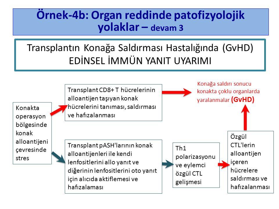 Örnek-4b: Organ reddinde patofizyolojik yolaklar – devam 3 Konakta operasyon bölgesinde konak alloantijeni çevresinde stres Th1 polarizasyonu ve eylemci özgül CTL gelişmesi Özgül CTL lerin alloantijen içeren hücrelere saldırması ve hafızalanması Transplant CD8+ T hücrelerinin alloantijen taşıyan konak hücrelerini tanıması, saldırması ve hafızalanması Konağa saldırı sonucu konakta çoklu organlarda yaralanmalar (GvHD) Transplant pASH larının konak alloantijenleri ile kendi lenfositlerini allo yanıt ve diğerinin lenfositlerini oto yanıt için alıcıda aktiflemesi ve hafızalaması Transplantın Konağa Saldırması Hastalığında (GvHD) EDİNSEL İMMÜN YANIT UYARIMI