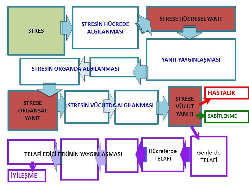 STRES Genlerde TELAFİ HASTALIK STRESİN HÜCREDE ALGILANMASI YANIT YAYGINLAŞMASI STRESE ORGANSAL YANIT STRESE HÜCRESEL YANIT STRESE VÜCUT YANITI Hücrelerde TELAFİ SABİTLENME İYİLEŞME STRESİN ORGANDA ALGILANMASI STRESİN VÜCUTDA ALGILANMASI TELAFİ EDİCİ ETKİNİN YAYGINLAŞMASI