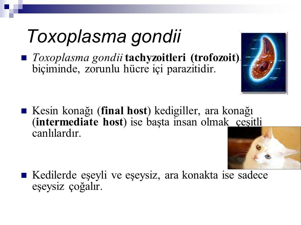 Toxoplasma gondii Toxoplasma gondii tachyzoitleri (trofozoit), yay biçiminde, zorunlu hücre içi parazitidir. Kesin konağı (final host) kedigiller, ara