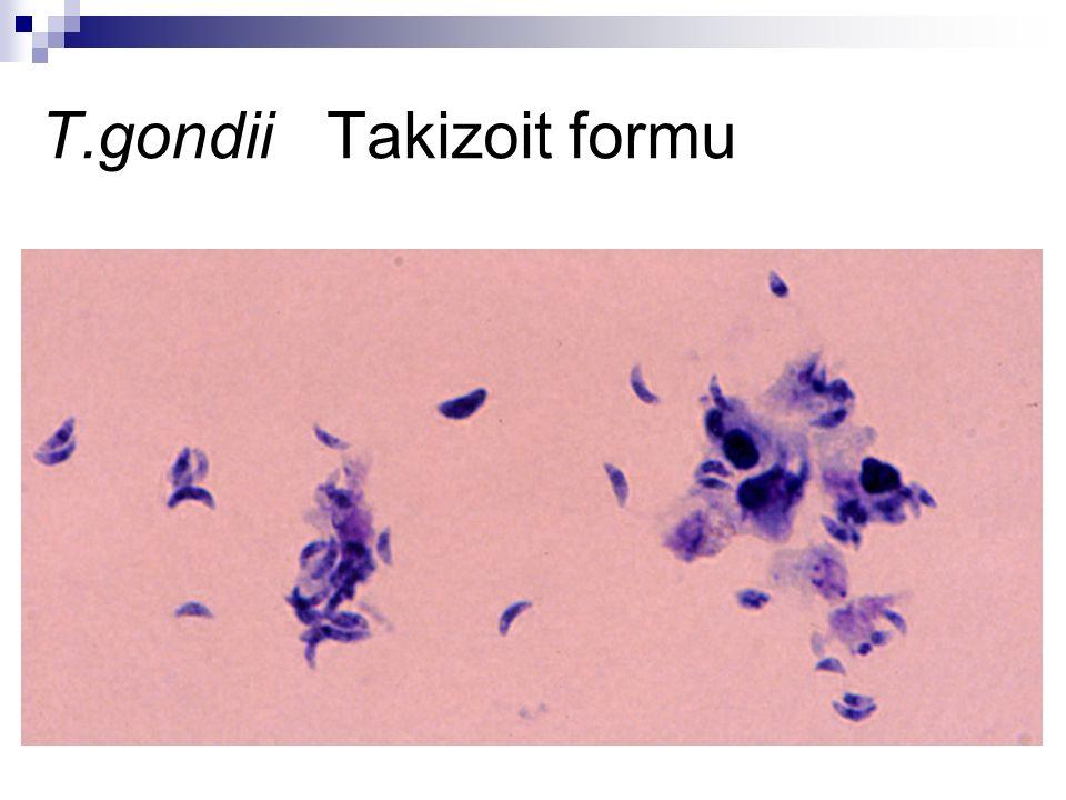 Morfoloji Bradizoit: Konağın immun sisteminin devreye girmesiyle oluşan, kist içinde yavaş çoğalan formdur.