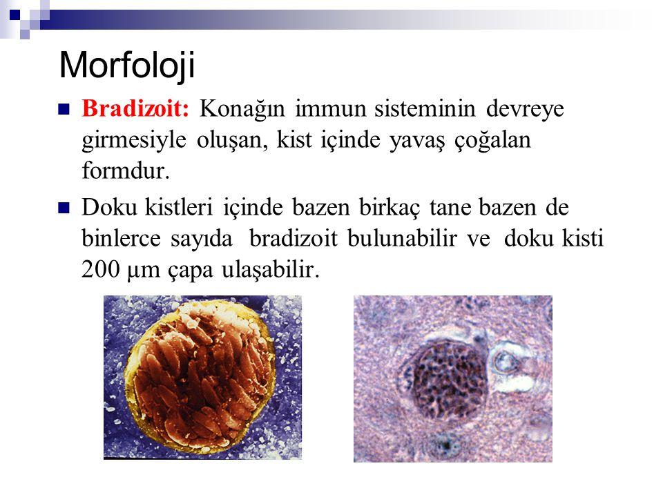 Morfoloji Bradizoit: Konağın immun sisteminin devreye girmesiyle oluşan, kist içinde yavaş çoğalan formdur. Doku kistleri içinde bazen birkaç tane baz